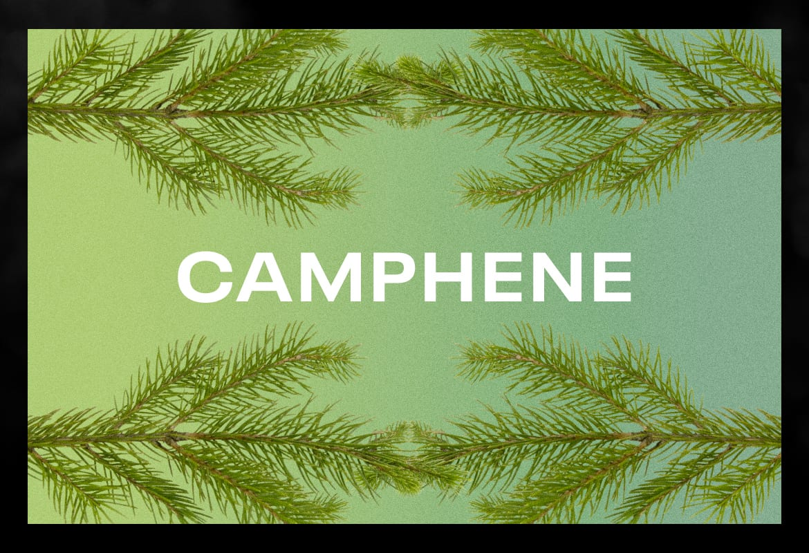 camphene BEST TERPENES ONLINE FOR WEED