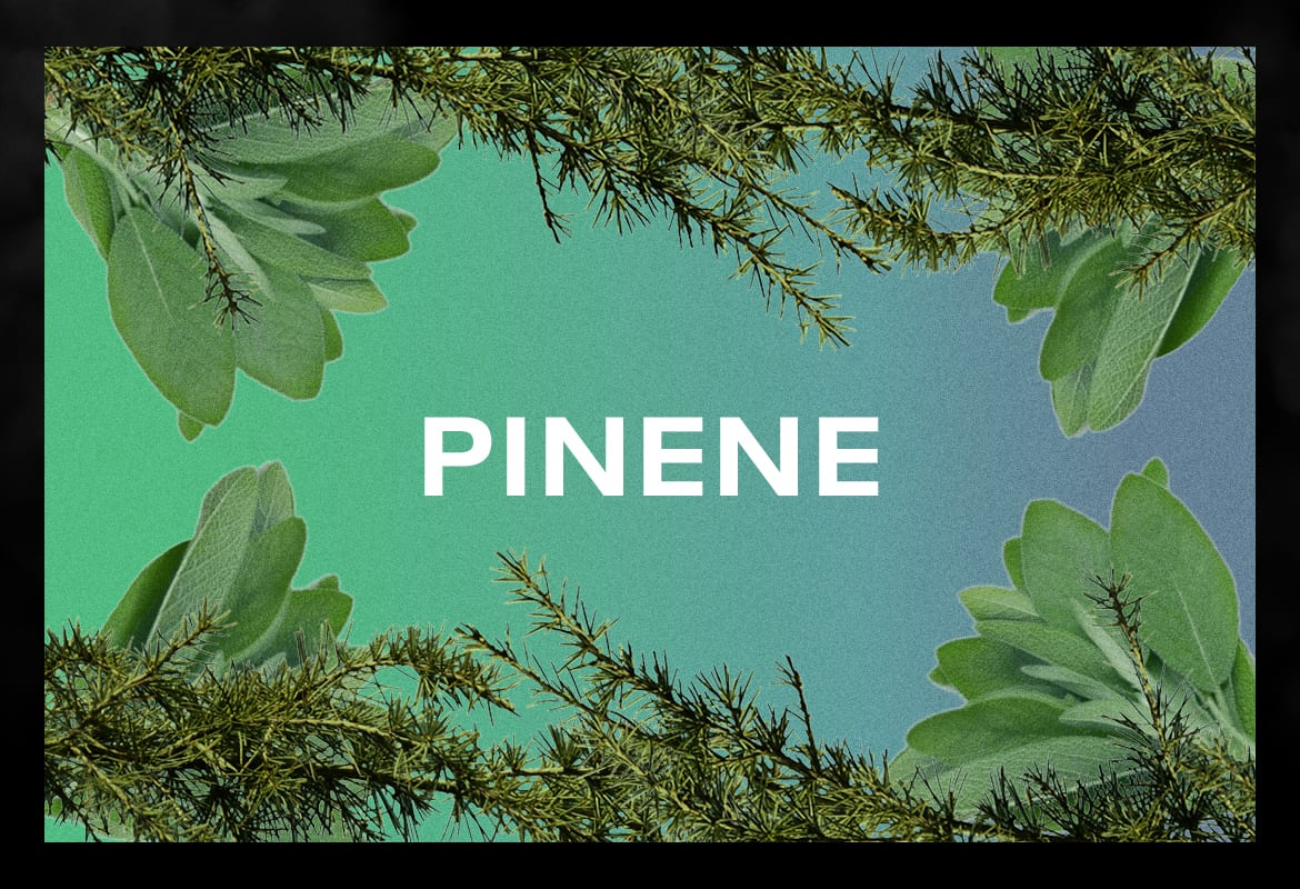 Pinene terpene BEST TERPENES ONLINE FOR WEED