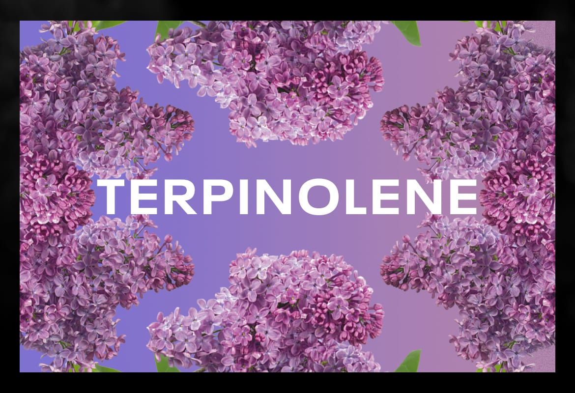 TERPINOLENE BEST TERPENES ONLINE FOR WEED