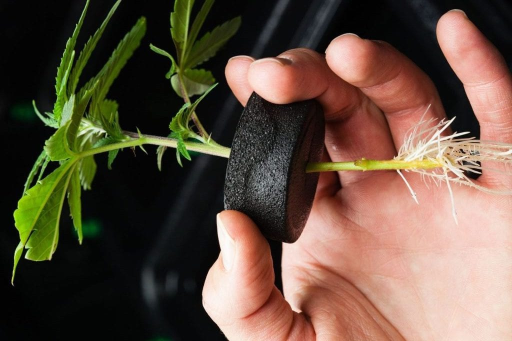 Persons hand holding cannabis seed clone