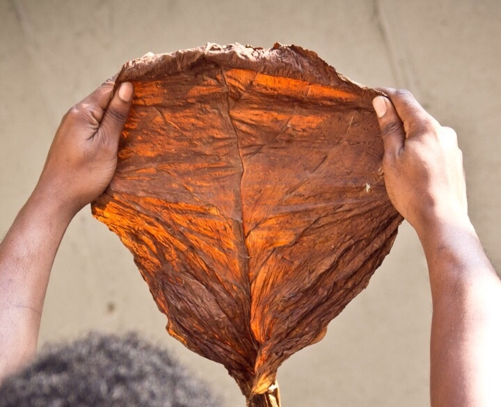 Fronto leaf being held up in front