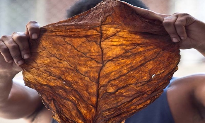 Fronto Leaf being held up